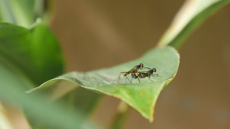 Mosquitos mating on a green leaf