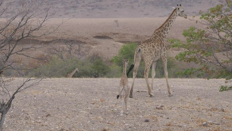 Mother and a baby giraffe walk on a dry savanna