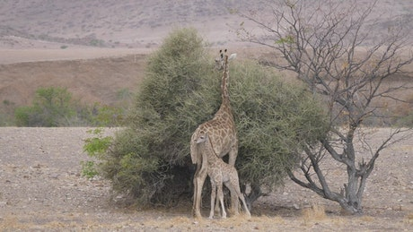 Mother and baby giraffe around a bush on a dry savanna
