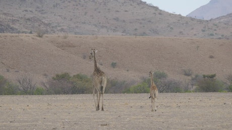 Mother and baby giraffe walking on the savanna
