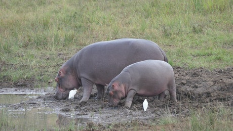 Mother and baby hippo eating near a water pond