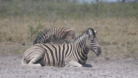 Mother and baby Zebra on a dry savanna