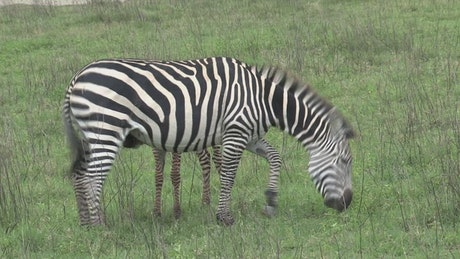 Mother and baby zebra on a green valley