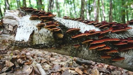 Mushrooms across a fallen tree