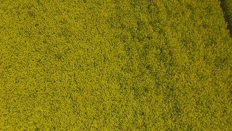 Oilseed plants growing