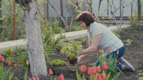 Old woman arranging tulip garden