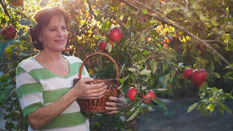 Old woman cutting apples from the trees in her garden