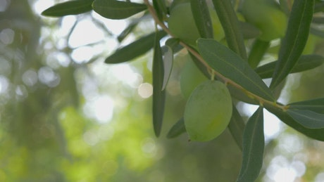 Olives growing in the Mediterranean