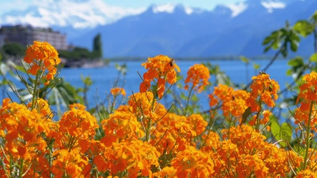 Orange flowers and the lake in the background