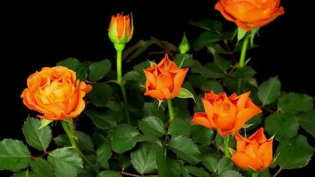 Orange rose flower opens on the bush