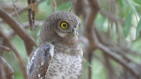 Owl hooting on a tree