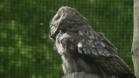 Owl in captivity in a close up shot