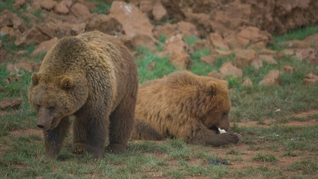 Pair of brown bears in the field