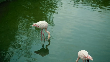 Pair of flamingos drinking water in a lake
