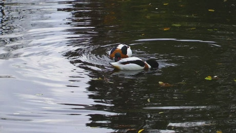 Pair of wild ducks looking for food in the lake