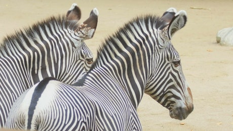 Pair of Zebras looking at the distance
