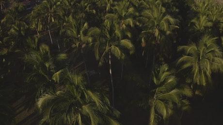 Palm treetops