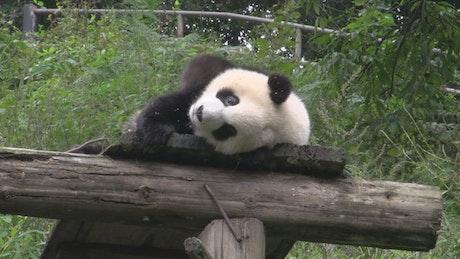 Panda in captivity feeding