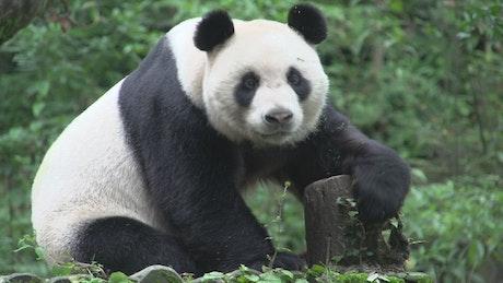 Panda resting on a tree trunk