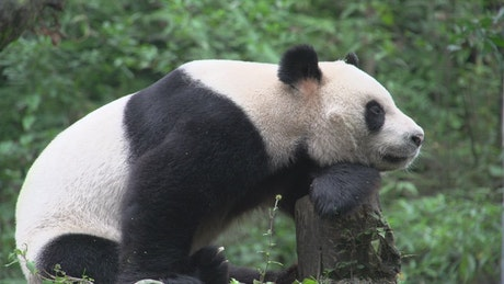 Panda resting on a tree trunk in the forest