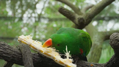 Parrot eating a sugar cane