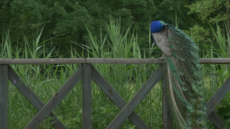 Peacock on a wooden fence