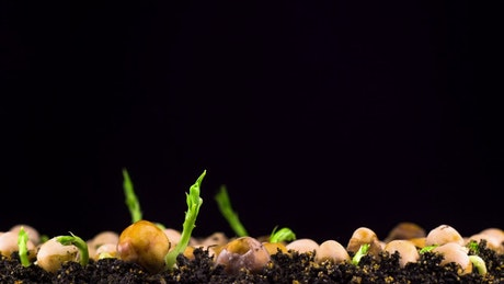 Peas beans germination