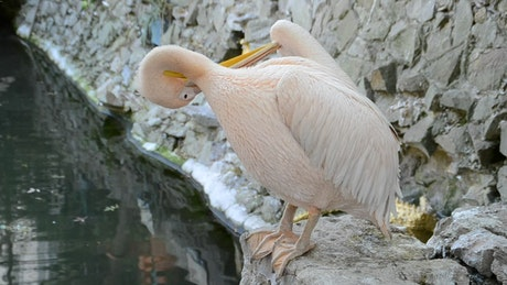Pelican cleaning by a pond