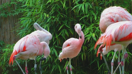 Pelicans in group
