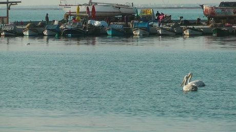 Pelicans swimming near fishing boats