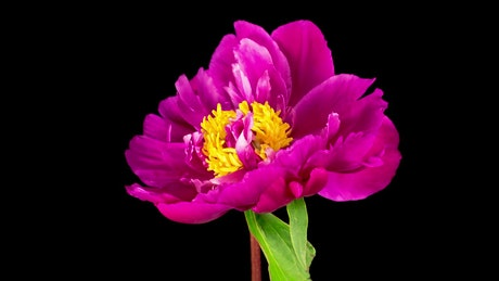 Peony pink flower opening