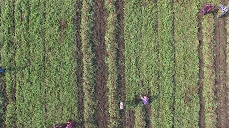 People harvesting in the crop field