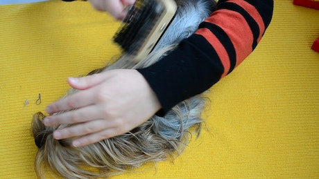 Person brushing the hair of a small dog
