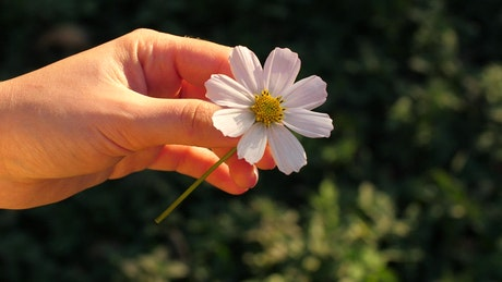 Person plucking petals from a chamomile flower