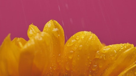 Petals of a sunflower being watered