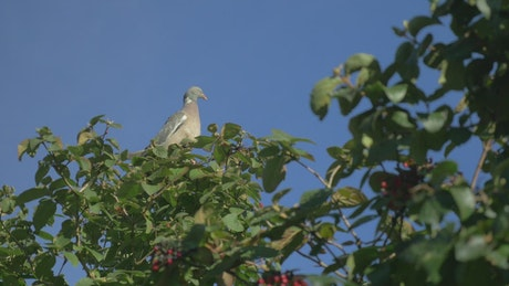 Pigeon high up a tree