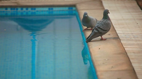 Pigeons by the swimming pool