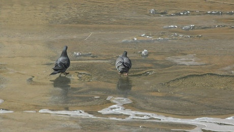 Pigeons drinking water in a frozen river
