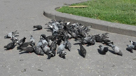 Pigeons eating in a city park