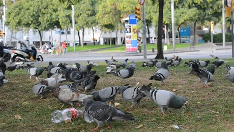 Pigeons feeding in a dirty park