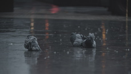 Pigeons laying in the rain