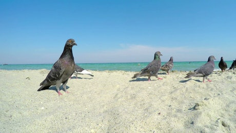 Pigeons on a sandy beach