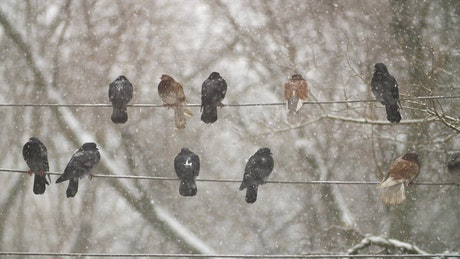 Pigeons on electrical wires while is snowing