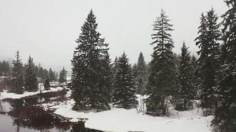 Pine forests and a lake in Canada in winter