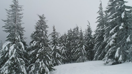 Pine trees covered in snow and fog