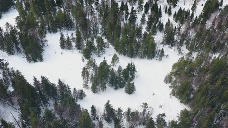 Pine trees frozen with snow