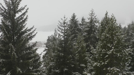 Pine trees in a snowy forest