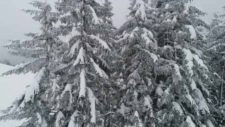 Pine trees in the forest with branches full of snow