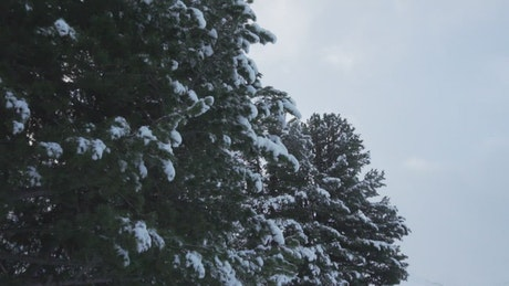 Pine trees with snow on its branches
