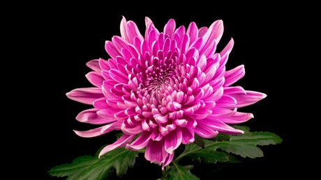 Pink chrysanthemum flower opening
